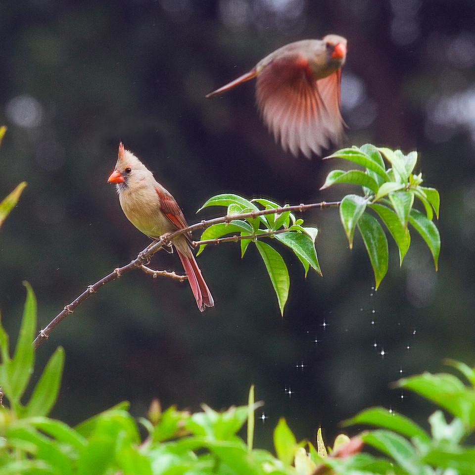 Female Cardinal - Double Exposure