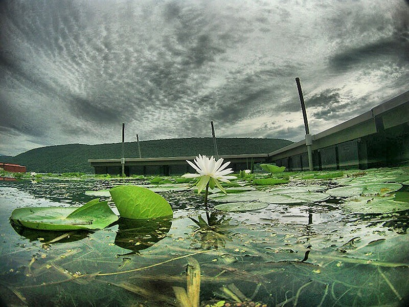 Jack Haley/Messenger Post MediaNormally Lilly flowers sit on top of the lilly pads but with Canandaigua Lake lower because of the drought the flower is not resting on the pads.