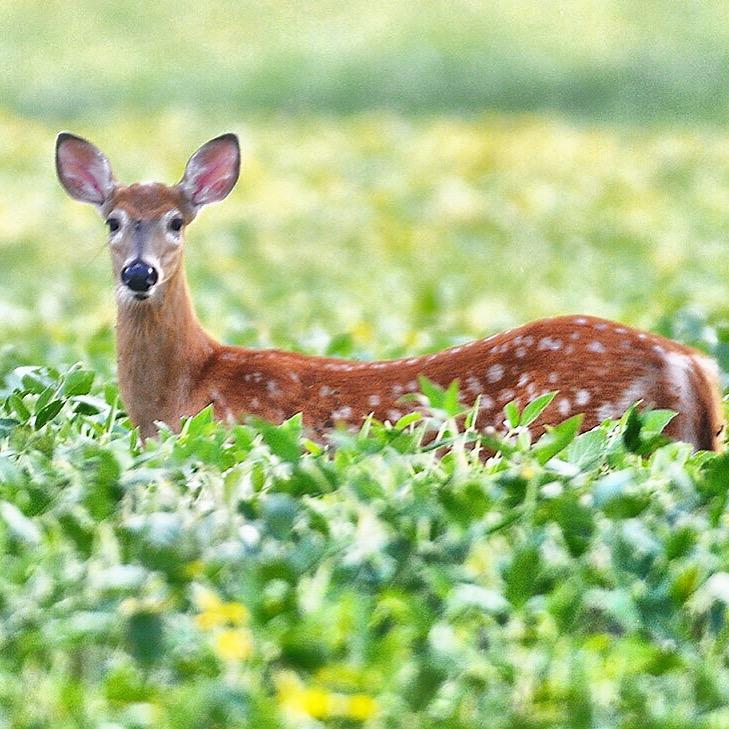 Jack Haley/Messenger Post MediaA deer in a farmers field in West Bloomfield.
