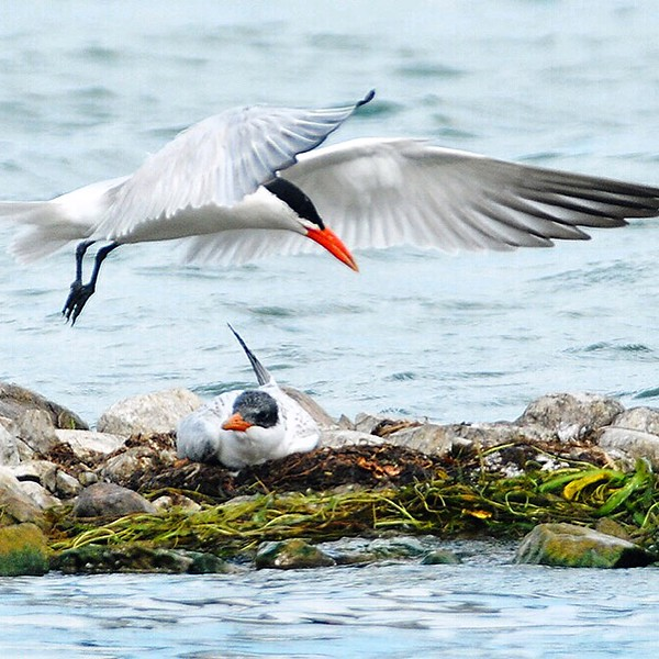 Jack Haley/Messenger Post MediaA male Common Tern comes in to land next to what could be a female on eggs on the rock line off the City Pier on Tuesday.
