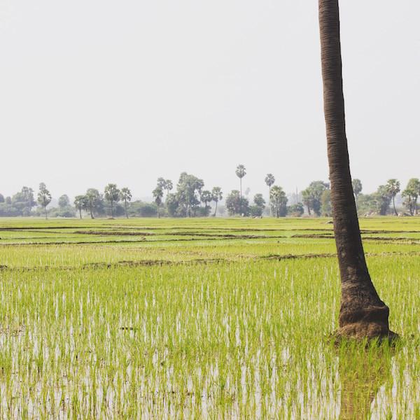 India rice paddie