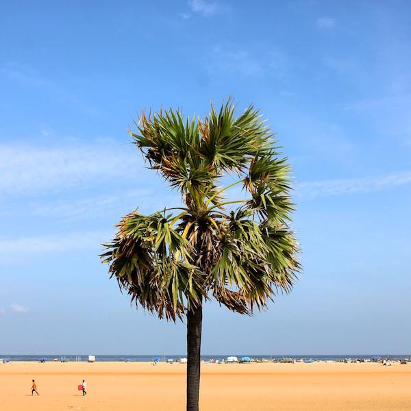 India palm tree