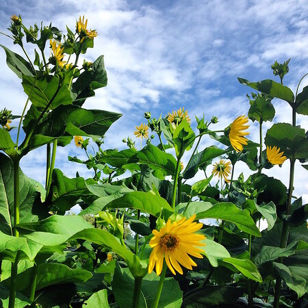 Arnold sunflowers