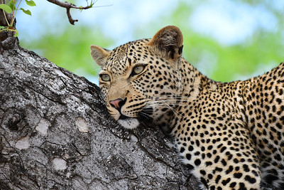 Leopard Power Sighting