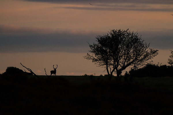 Silhouetted Stag