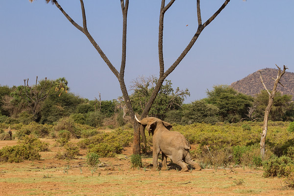Elephant shaking the tree