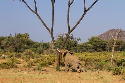 Elephant shaking the tree