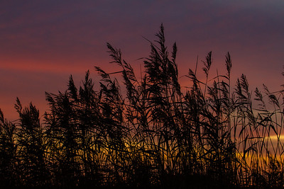 Silhouetted Reeds at Sunset