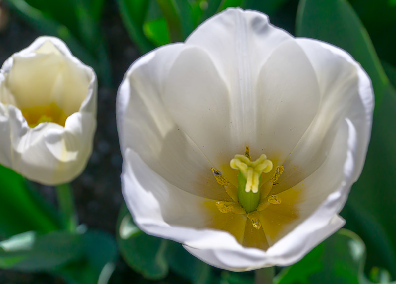 White tulips at temple square