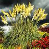 Pampas Grass & Stormy Sky