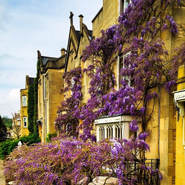 Bath Priory - the wisteria