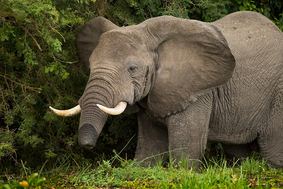 Poaching of African Elephants