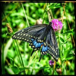 Black Swallowtail Top