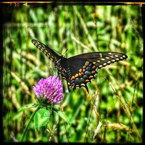 Black Swallowtail Bottom