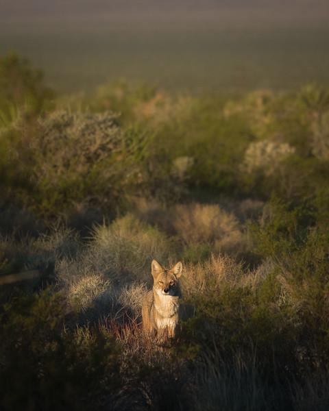 Calfornia Coyote