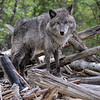 wolf-photograph9251