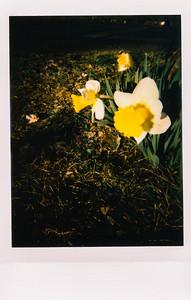 18 avril : jonquilles (Lomo'Instant)