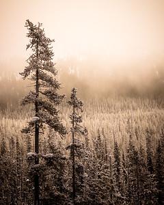 Kootenay Trees