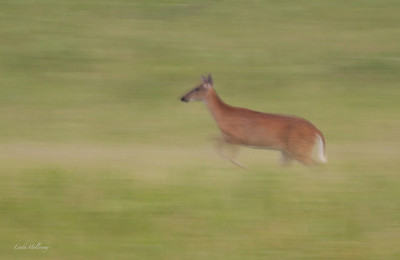 A young buck hurries to keep up with the pack in Big Meadows.  Warm afternoon light f22 and panning the camera in motion with buck to make image.-IMG_7370