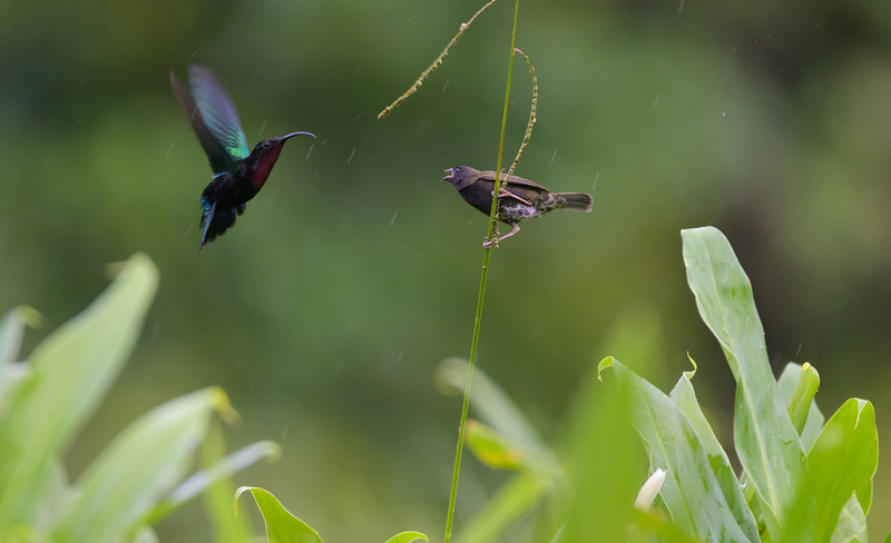 Purple-Throated Carib vs Black-Faced Grassquit