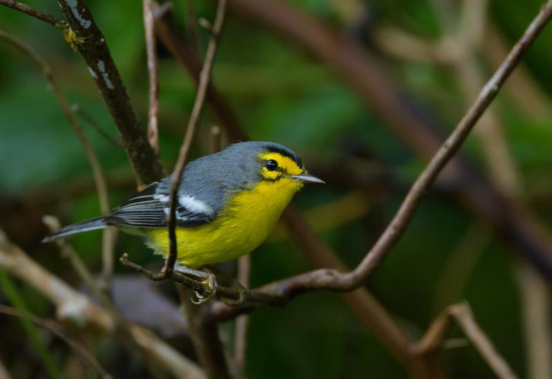 Saint Lucia Warbler