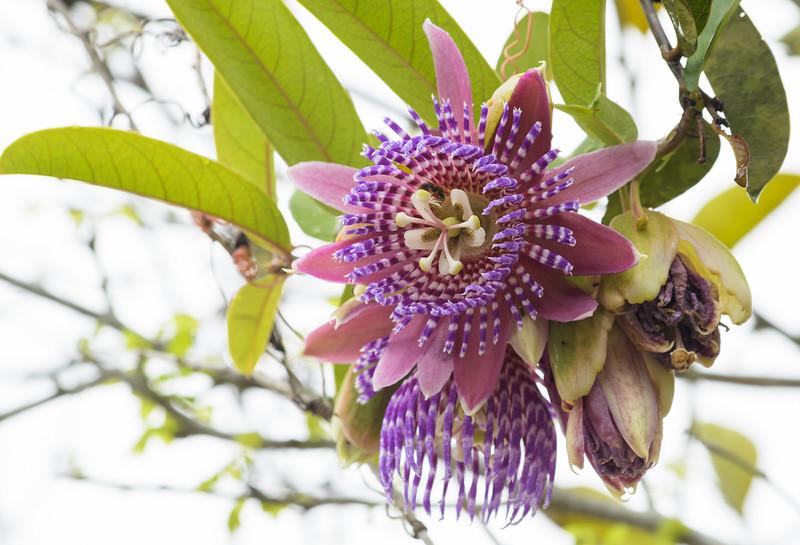Passion Flower (Passiflora sp.)