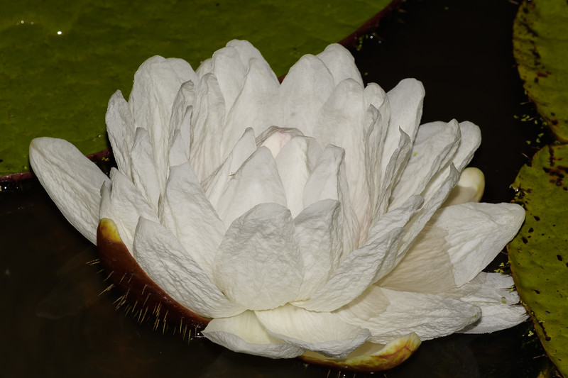 Giant Water Lily (Victoria amizonica)