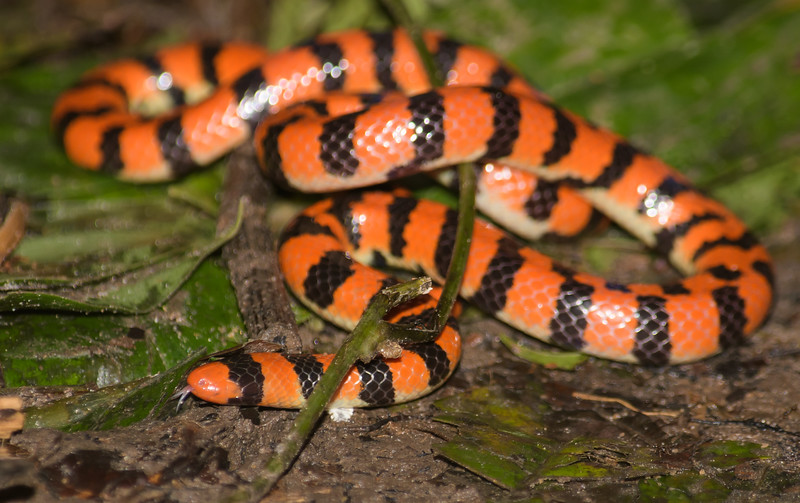 Coral Pipe Snake (Anilius scytale)