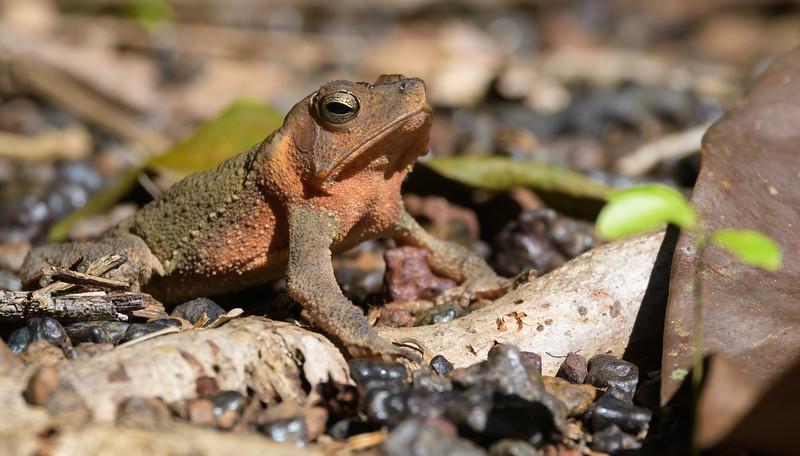 Leaf Litter Toad (Rhinella martyi)