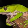Giant Waxy Monkey Treefrog (Phyllomedusa sauvagii)