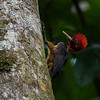 Red-necked Woodpecker (Campephilus rubricollis)