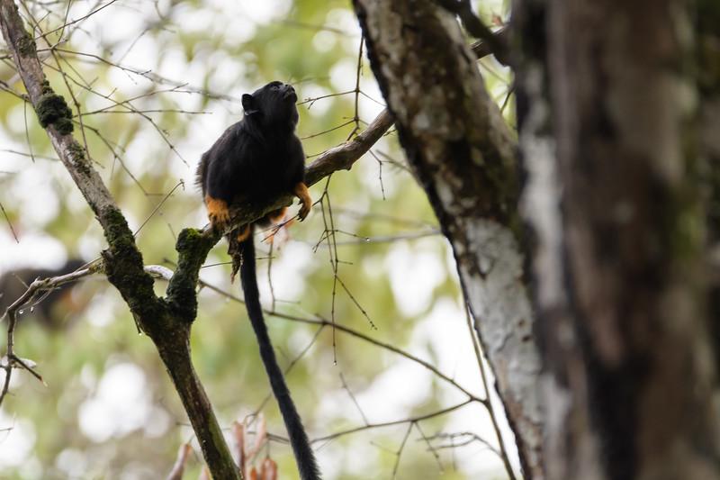 Golden-Handed Tamarin (Saguinus midas)
