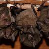 Pallas's Long-tongued Bat (Glossophaga soricina)