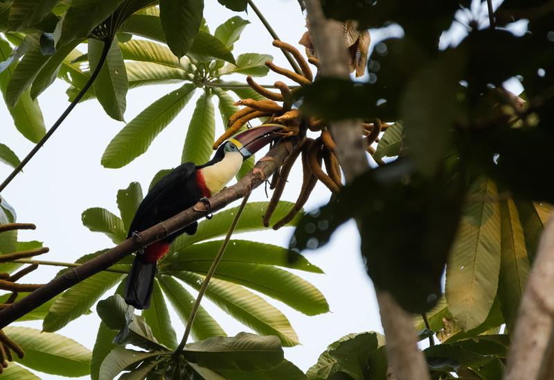 Red-billed Toucan (Ramphastos tucanus)