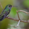 Glittering-throated Emerald (Amazilia fimbriata)