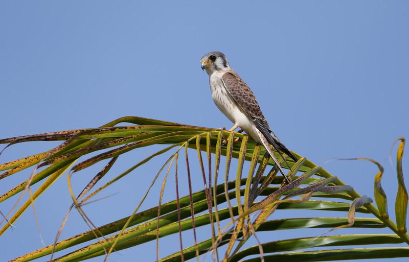 American Kestral (Falco sparverius)
