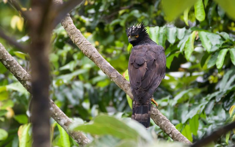 Black Hawk-eagle (Spizaetus tyrannus)