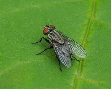 Family Sarcophagidae - Flesh Flies species