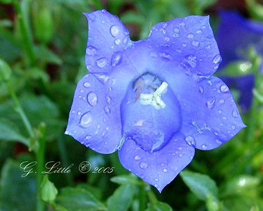 Flower; Blue Ballon; After the rain