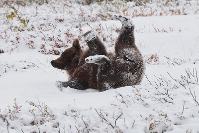 Grizzly Snow Angel