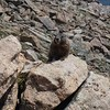 Marmot at Rocky Mountain National Park