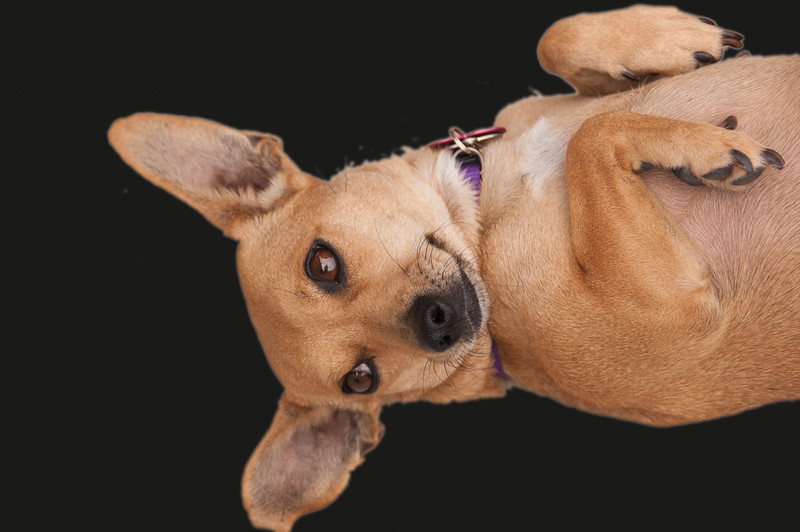 Doggie Portrait1