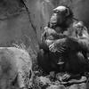 Chimpanzee Family