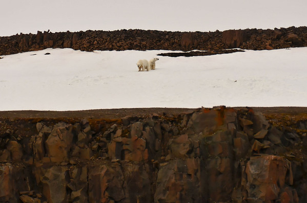 Marooned polar bears, E side of Cape Fligely, Rudolph Island