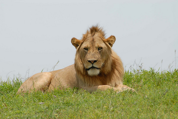 Mature male lion in the Ngorongoro Crater.