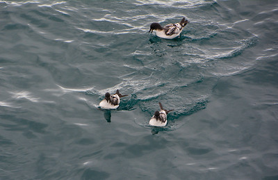 Some Cape Petrels floating on a temporarily calm sea.