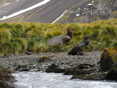 As we were leaving Cave Cove, I think this female elephant seal was expressing her appreciation that we were leaving.