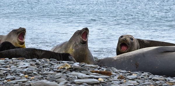 Female Elephant Seals singing?  Probably just expressing displeasure that we are there.