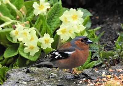Male Chaffinch, Wales, UK