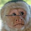 White - faced or capuchin monkey